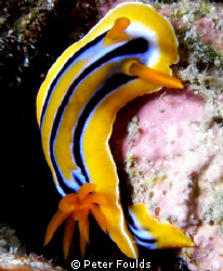 Nudi by Peter Foulds