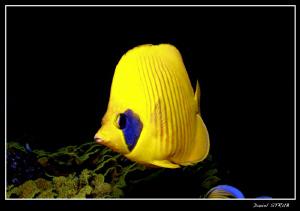 Butterflyfish in El Quseir :-D by Daniel Strub