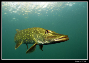 King pike in a small pond close to Mitsch's home :-D by Daniel Strub