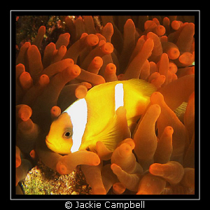 Clown fish in neon anenome........ Canon ixus 980, singl... by Jackie Campbell