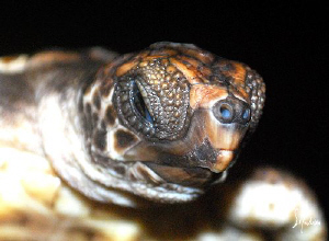 Baby Hawksbill Turtle soon to be released. These babies w... by Steven Anderson
