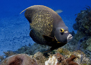 This image of a French Angelfish was taken between the bo... by Steven Anderson