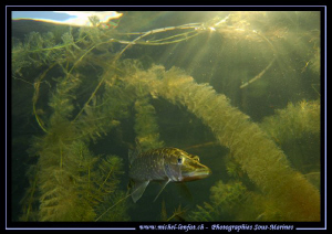 Young Pike Fish at sunset... Que du bonheur... :O)... by Michel Lonfat