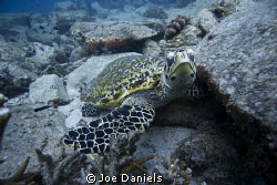 Hawksbill Turtle - 10-22mm, 1/200, f4.0, iso 100 by Joe Daniels