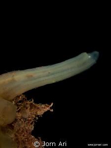 Sea squirt (Ciona intestinalis) This is the Swedish vers... by Jorn Ari