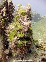 Green Frog Fish, point and shoot Fuji, natural light by Katie Hollamby