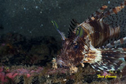 Lionfish @ Dumaguete by Taco Cheung