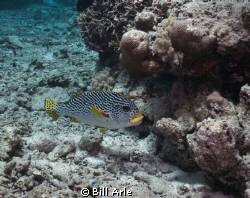 Sweetlips.  Coral Sea.  Canon G-10, Ikelite housing, stro... by Bill Arle