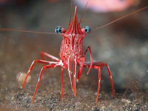 Hinge-back shrimp. Tulamben, Bali by Doug Anderson