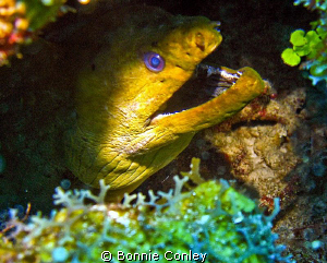 Moray eel seen in Grand Cayman August 2010.  Photo taken ... by Bonnie Conley