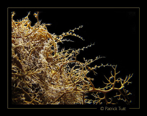 Ophiuroid on night dive - Saudi Arabia - Canon S90 with h... by Patrick Tutt