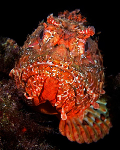 Scorpionfish by Henry Jager