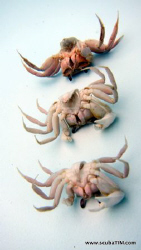 3 dead crabs in a pool by Tim Ho