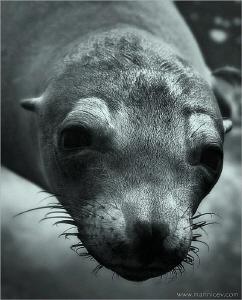 Sea Lion, Galapagos by Aleksandr Marinicev