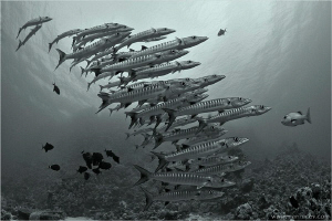Barracuda school, Shaab Rumi Reef by Aleksandr Marinicev