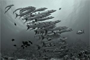 Barracuda school, Shaab Rumi Reef by Aleksandr Marinicev