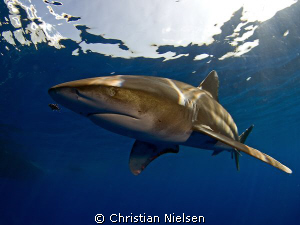Great encounter with an oceanic whitetip at Daedalus Reef... by Christian Nielsen