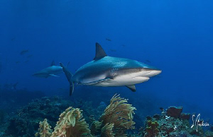 This image of a Reef Shark cruising the reef was taken in... by Steven Anderson