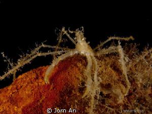Long-legged spider crab (Macropodia rostrata).  by Jorn Ari