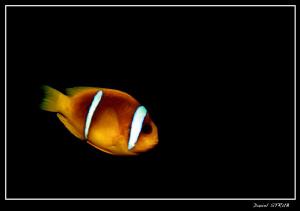 Red sea anemone fish in El Quadim House reef :-D by Daniel Strub