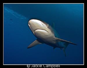 Silky shark flyover !! Canon G9, single inon D2000 strob... by Jackie Campbell