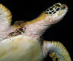 Green Turtle from below at night by Martin Dalsaso