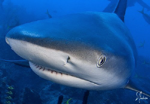 Reef Shark closes in for a visit. by Steven Anderson