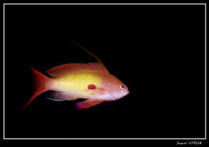 Anthias in El Quadim house reef :-D by Daniel Strub