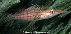 Long-nose Hawkfish taken a Sodwana by Bernard Groenewald