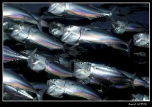 Hunting bigmouth makrels in El Quadim Bay :-D by Daniel Strub