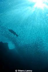 Sardins and grouper in La Sirenita, Cabo Pulmo, Baja Sur,... by Thierry Lannoy