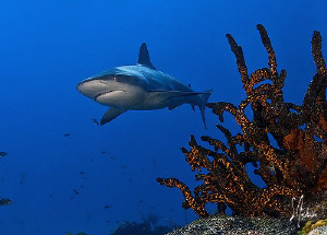 Reef shark makes a cruise along the reeff at El Dorado - ... by Steven Anderson