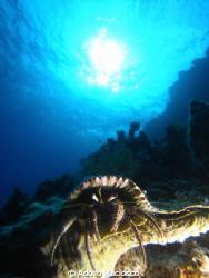 Hermit Crab @ Turtle bay by Adolfo Maciocco