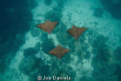 Eagle Rays f7.1-1/125-iso 500 by Joe Daniels