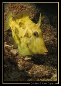 Yellow submarine :-) (Stephanolepsis hispidus) by Raoul Caprez