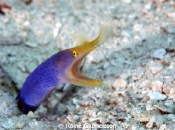 Blue ribbon eel shot at house reef in Wakatobi (world's b... by Roine Gabrielsson