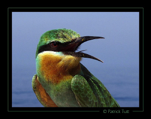 A Blue-cheeked Bee-eater is visiting us on the boat betwe... by Patrick Tutt