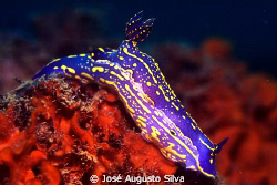 Nudibranch, Hypselodoris picta by José Augusto Silva