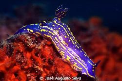 Nudibranch, Hypselodoris picta by José Augusto Silva