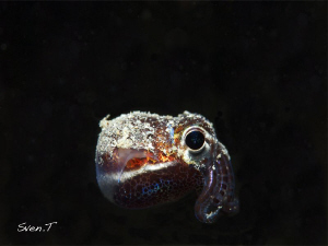 Bobtail squid cool dude!! by Sven Tramaux