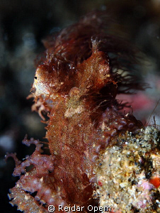The elusive hairy octopus from Lembeh strait by Reidar Opem