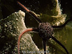 Brittle Star moves over kelp frond, Resolute Bay, Nunavut by David Gilchrist