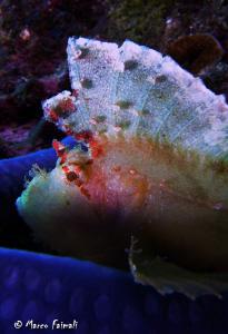....Leaf Scorpionfish on blu sea star.....  (Compact ca... by Marco Faimali