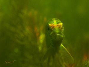 king pike portrait.. by Sven Tramaux