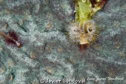 chrismas tree worm on a beautiful hard coral by Javier Sandoval