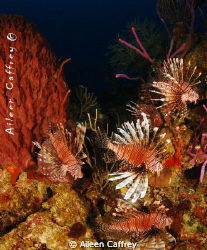 Out of control.... 5 lionfish in one shot in Akumal. Proo... by Aileen Caffrey