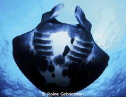 Underneath a Manta ray in Komodo. by Roine Gabrielsson