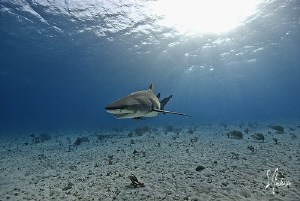 Lemon Shark makes an appearance at Tiger Beach - Bahamas by Steven Anderson