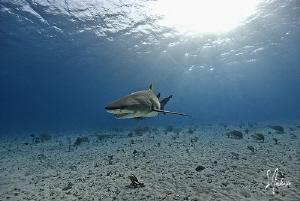 Lemon Shark makes an appearance at Tiger Beach - Bahamas by Steven Anderson