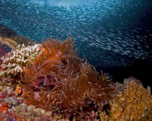 """""""Anemone and Sardines""""  From the Pescador Island's scho... by Henry Jager"""